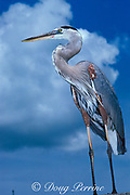 great blue heron, Ardea herodias, Virginia Key, Miami, Florida, U.S.A., North America