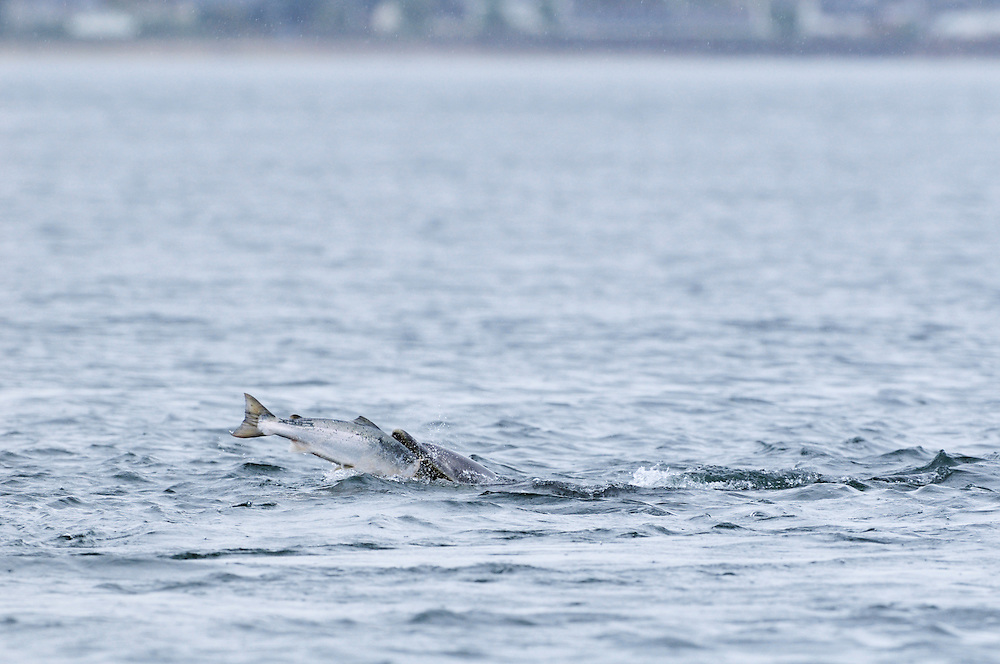 Bottle-nosed Dolphin with salmon,<br /> Tursiops truncatus,<br /> Moray Firth, Nr Inverness, Scotland - May