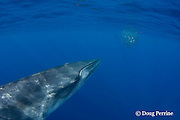 Bryde's whale, Balaenoptera brydei or Balaenoptera edeni, approaches a baitball of sardines, Sardinops sagax, to feed, off Baja California, Mexico ( Eastern Pacific Ocean ) #1 in sequence of 6