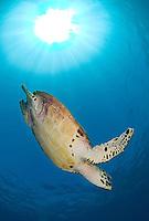Diving Hawksbill Turtle and Sunburst