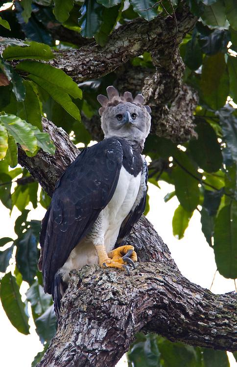Parauapebas_PA, Brasil..Harpia (Harpya harpyja) em castanheira (Bertholletia excelsa) na floresta amazonica, Para..Harpy (Harpy harpyja) in  brazilian walnut (Bertholletia excelsa) in the Amazon forest in the Floresta Nacional de Carajás, Para...Foto: JOAO MARCOS ROSA / NITRO..