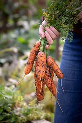 Harvesting maincrop carrots. Carrot 'Resistafly' F1 Hybrid