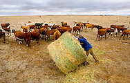 HAY, NEWS SOUTH WALES - APRIL 28:Cattle gather around feed being prepared by farmer Rowan Houston in the absence of any natural feed on his family property Budgewah in western New South Wales. (c) Joseph Feil
