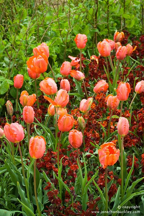 Tulipa 'Orange Favourite' with wallflower Erysimum 'Blood Red'