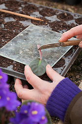 Taking leaf petiole cuttings from Saintpaulias (African Violets). Trimming leaf with a knife on a sheet of glass