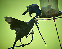 Common Grackle -- Parent feeding Junior.Image taken with a Nikon D5 camera and 600 mm f/4 VR lens.