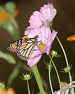 Monarch Butterfly On A Pink Flower, Danaus plexippus