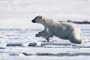 A polar bear (Ursus maritimus) jumping over water on melting fast ice, Spitsbergen, Svalbard, Norway