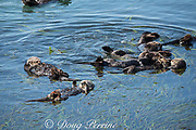 California sea otters, or southern sea otters, Enhydra lutris nereis ( threatened species ), resting and socializing in a raft at the edge of a bed of eel grass, Zostera sp., Morro Bay, California, United States ( Eastern Pacific ); otter at lower left has a red research tag on its flipper