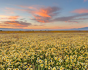 Tidy-tips and Pink Clouds at Dawn, Carrizo Plain National Monument, California