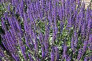 Bed of purple salvia flowers.  St Paul Minnesota USA