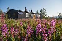 Summer fireweed flowers outside STF Akka mountain hut, Padjelantaleden Trail, Lapland, Sweden