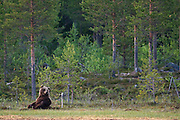 An Eurasian Brown Bear sits at the edge the forest in Finland.