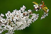 Cherry Blossom, England, UK