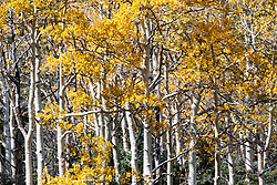 Fall color of aspens on meadow above The Wall,  below Ash Mountain, Vermejo Park Ranch, New Mexico, USA.
