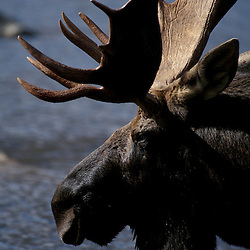 Whidden Pond, Baxter S.P.,ME A bull moose, alces alces.