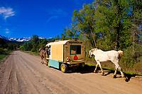 Bob Skelding (wagonteamster.com) driving with his wagon team across the United States, East Dallas Creek Road, near Ridgway, Colorado USA