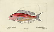 Dentex (Dente) Histoire naturelle des poissons (Natural History of Fish) is a 22-volume treatment of ichthyology published in 1828-1849 by the French savant Georges Cuvier (1769-1832) and his student and successor Achille Valenciennes (1794-1865).