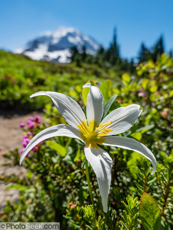 In mid August, a late-season avalanche lily (Erythronium montanum in the Liliaceae family) blooms white with yellow center in Spray Park, in Mount Rainier National Park, Washington, USA.