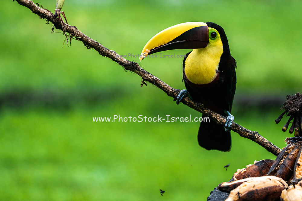 The chestnut-mandibled toucan or Swainson's toucan (Ramphastos ambiguus swainsonii) in tropical rainforest. This bird is a subspecies of the yellow-throated toucan. Photographed in Costa Rica