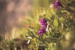 THEMENBILD - eine pinke Alpenblume im Sonnenlicht. Die Grossglockner Hochalpenstrasse verbindet die beiden Bundeslaender Salzburg und Kaernten und ist als Erlebnisstrasse vorrangig von touristischer Bedeutung, aufgenommen am 22. Juli 2019 in Fusch a. d. Grossglocknerstrasse, Österreich // a pink alpine flower in the sunlight. The Grossglockner High Alpine Road connects the two provinces of Salzburg and Carinthia and is as an adventure road priority of tourist interest, Fusch a. d. Grossglocknerstrasse, Austria on 2019/07/22. EXPA Pictures © 2019, PhotoCredit: EXPA/Stefanie Oberhauser