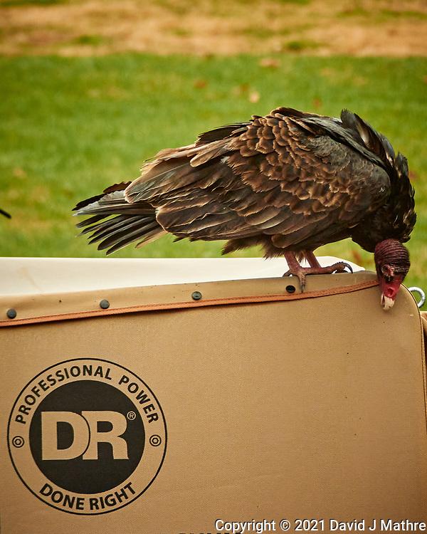 Turkey Vulture (Cathartes aura). Image taken with a Nikon 1 V3 camera and  70-300 mm VR lens.