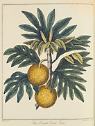 Breadfuit: Artocarpus incisus.  Tree with fruit with white pulp like new bread, introduced into West Indies as important food crop for plantation slaves. Captain Bligh of HMS 'Bounty' fame was given the task of transporting stock plants from the South Sea Islands.From 'A Key to Physic' by Ebenezer Sibly. (London c1798).  Hand-coloured engraving.