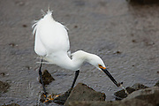Snowy Egret at the moment of catching prey.