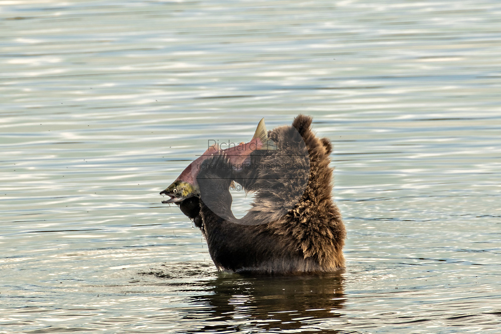A spring Brown Bear cub eats a Sockeye Salmon along the lover Brooks River lagoon in Katmai National Park and Preserve September 16, 2019 near King Salmon, Alaska. The park spans the worlds largest salmon run with nearly 62 million salmon migrating through the streams which feeds some of the largest bears in the world.