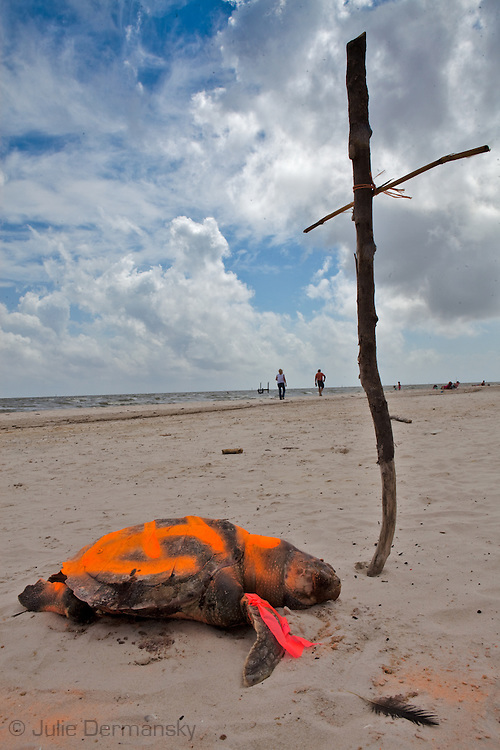 A cross marks the spot where a dead Kemp's Ridley sea turtle was found on the beach in Pass Christian Mississippi,  painted orange by the Institute for the Marine Mammal Studies so it wont be counted a second time, left on the beach until a crew comes to remove it. <br /> An unprecedented number of dead young  Kemp's Ridley and Loggerhead  sea turtles have washed up on the shores of Mississippi along the Gulf of Mexico starting almost a year after the BP oil spill. The sea turtle species being found dead are endangered. <br /> Test are being done on the high number of turtle and dolphin corpses found on the beaches but results have not been released.