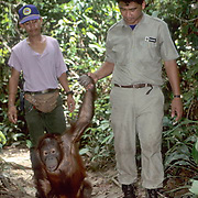 Orangutan, (Pongo pygmaeus) Ranger escorts Judy back to Sepilok Forest Rehabilitation Center. Borneo. Malaysia. Controlled Conditons.