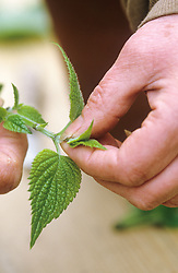 Taking cuttings from tender plants (Salvia guaranitica)<br /> Nipping out growing point