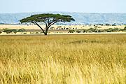 Lone Acacia Tree in Serengeti National Park, Tanzania