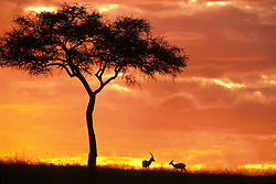 frica, Kenya, Masai Mara National Reserve, Gazelles grazing under Acacia tree at sunset