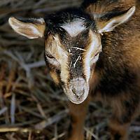 USA, California, Del Mar.  Baby goat at petting farm.