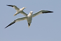 Migrating seabirds, northern gannets, Morus bassanus, search for fish at the mouth of the Delaware Bay and the Atlantic Ocean. These spectacular divers, plunge at high speed from heights of 130 feet after small fish near the water's surface. The birds spend their winters at sea and nest in only a few colonies worldwide.