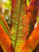 Fireweed (Epilobium angustifolium) leaves turn red in early September in Denali State Park, Alaska, USA.