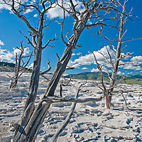 Trees killed by shifting hot water stand amidst  mineral deposits at Mammoth Hot Springs, Yellowtone National Park, Wyoming