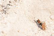 Spider hunting wasp (Anoplius viaticus?) with paralysed prey on heathland. Arne, Dorset, UK.