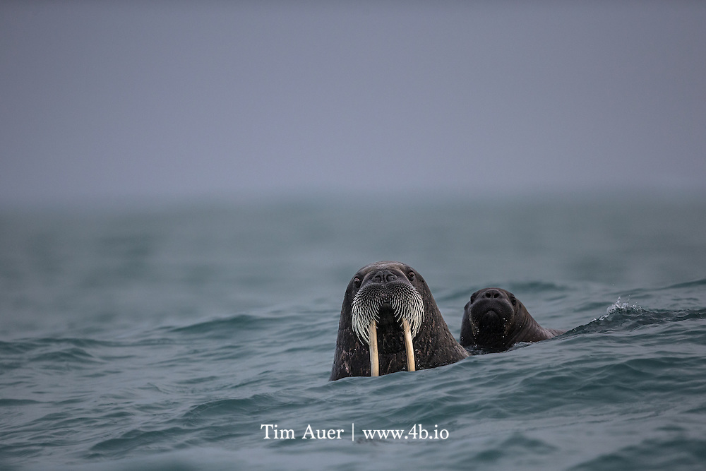 """Rough Seas<br /> A walrus calf clings to its mother's back for protection in rough seas off the shore of Kvitøya, or the """"White Island"""". This is one of the most remote places in the Svalbard archipelago, it is rarely visited by ship, as it is frequently bound in sea ice quite late into the season. 10 days before this photo was taken, this part of the Arctic Ocean was completely frozen. <br /> A walrus mother is an all-star in the world of animal moms! For two years the mother provides constant protection, cradling the calf between her fore-flippers, or letting it cling to her back, as can be observed in this photo. Both female and male walrus have been observed carrying an orphaned calf away from danger. It is also not unusual for a calfless cow to adopt an orphaned calf.<br /> <br /> The choppy conditions also did not provide the most stable platform to handhold a 600 mm lens from. As the waves washed over the walrus and splashed over the zodiac's bow, I was able to rely on the lens' image stabilization to help me compose and capture this somewhat quizzical looking walrus and her baby.<br /> <br /> Sources:<br /> Pielou, E.C. """"A Naturalist's Guide to the Arctic"""", 2012. University of Chicago Press.<br /> Riedman, M. """"The Pinnipeds: Seals, Sea Lions, and Walruses"""", 1990. University of California Press."""