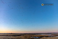 Snow geese during spring migration at Freezeout Lake WMA near Choteau, Montana, USA