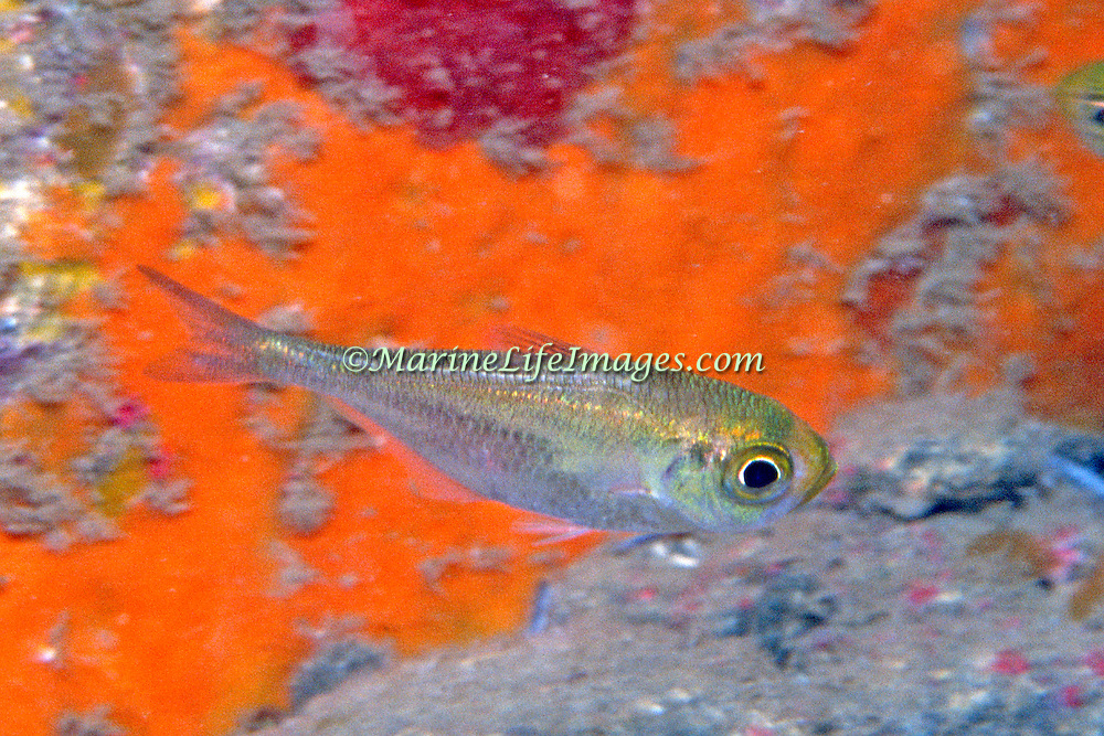 Shortfin  Sweeper inhabit shallow recesses and caves near the shoreline in the surge zone in Bahamas and Caribbean; picture taken Dominica.