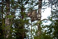 JÄMTLAND 2100622<br /> Lappugglan lyfter från sin gren under en naturtur i skogarna utanför Östersund.<br /> Foto: Per Danielsson/Projekt.P