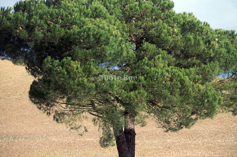 close up of a green pine tree during autumn