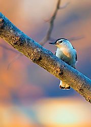 A White-Breasted Nuthatch catching some rays in the tree near sunset.