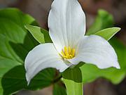 Image of a trillium flower (genus Trillium) taken in Fitchburg, Wisconsin, USA.