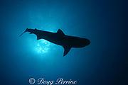 silhouette of tiger shark, Galeocerdo cuvier, Bahamas ( Western Atlantic Ocean )