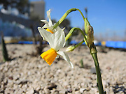 Common Daffodil (Narcissus tazetta) on a roof garden photographed in Israel, in November