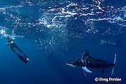 as Brandon Cole (left), Randy Morse (center), and Skp Stubbs (right) photograph a bait ball of sardines, with striped marlin, Kajikia audax (formerly Tetrapturus audax ), feeding on it, a Bryde's whale, Balaenoptera brydei or Balaenoptera edeni, approaches unseen at high speed, Baja California, Mexico ( Eastern Pacific Ocean ) #1 in sequence of 5; MR 397, 398, 399
