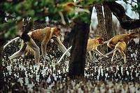 Proboscis monkeys walking though mangrove roots.